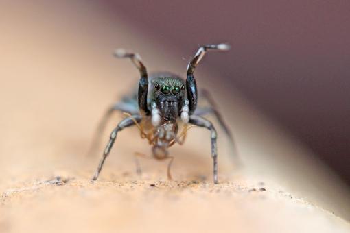 【ハエトリグモは益虫です】3つの種類と駆除方法をご紹介!(2020年最新版)